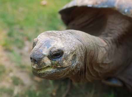 ancient turtles: Closeup giant tortoise looking
