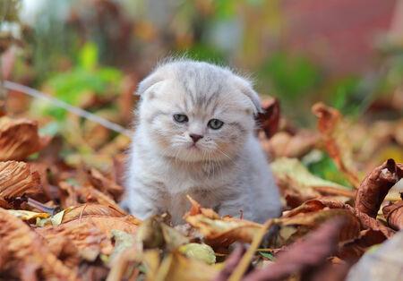 grey tabby: Small cute gray kitten on fallen leaves autumn background Stock Photo
