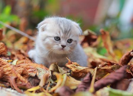 Cute British grey kitten on autumn nature background photo