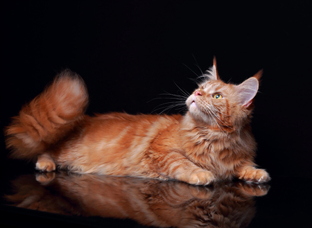 Female red solid maine coon cat lying with beautiful brushes on the ears on black background. Closeup portrait.