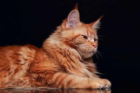 red animal: Female red solid maine coon cat profile with beautiful brushes on the ears on black background. Closeup portrait of animal. Stock Photo