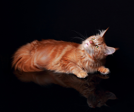 curiously: Female red solid maine coon cat curiously looking up with reflection in glass down on black background. Closeup portrait.