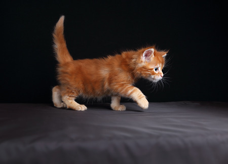coon: Adorable red solid maine coon kitten walking with beautiful brushes on the ears on black background and looking curious the blue eyes.  Stock Photo