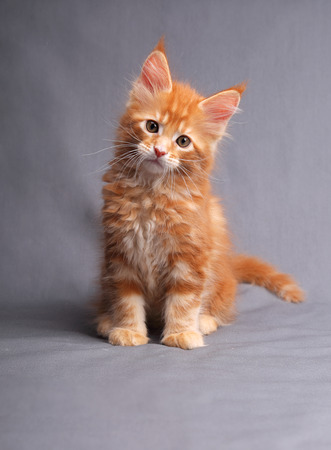 Funny adorable red solid maine coon kitten sitting with beautiful brushes on the ears on grey background and looking curious the blue eyes.