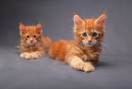 Two adorable red solid maine coon kitten lying with relaxing look with beautiful brushes on the ears on grey background