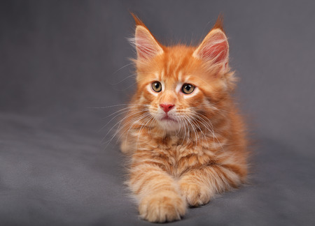 Adorable red solid maine coon kitten lying with relaxing look with beautiful brushes on the ears on grey background Stock Photo