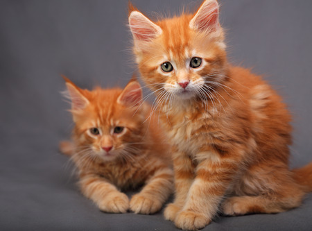 Two adorable red solid maine coon kitten sitting with relaxing look with beautiful brushes on the ears on grey background. closeup portrait Stock Photo