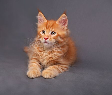 Red solid maine coon kitten lying with relaxing look with beautiful brushes on the ears on grey background