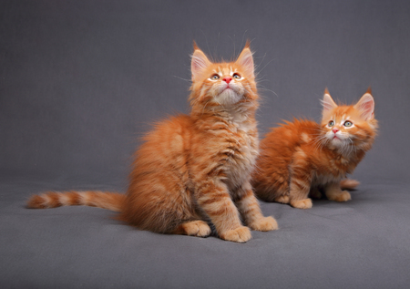Two adorable red solid maine coon kitten lying with relaxing look with beautiful brushes on the ears and looking on grey background