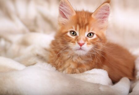 pretty eyes: Beautiful red solid maine coon kitten covered in warm blanket and looking calm the pretty eyes. Soft portrait. Closeup Stock Photo