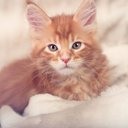pretty eyes: Beautiful red solid maine coon kitten covered in warm blanket and looking calm the pretty eyes. Soft toned portrait. Closeup