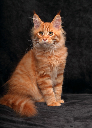 Adorable cute red solid maine coon kitten sitting with beautiful brushes on the ears on black background and looking Stock Photo