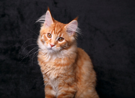 Adorable calm red solid maine coon kitten with beautiful brushes on the ears and yellow eyes on black background. Closeup portrait