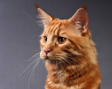 Male red solid maine coon cat with beautiful brushes on the ears with curious serious look on grey empty space background. Closeup portrait.