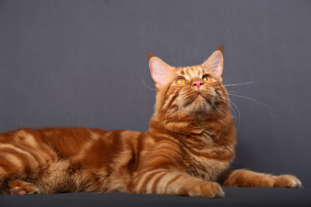 Male red solid maine coon cat lying with beautiful brushes on the ears looking up on grey background.