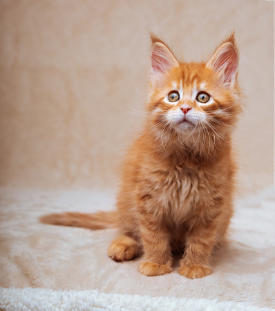 Funny adorable red solid maine coon kitten sitting with beautiful brushes on the ears on soft background. Closeup