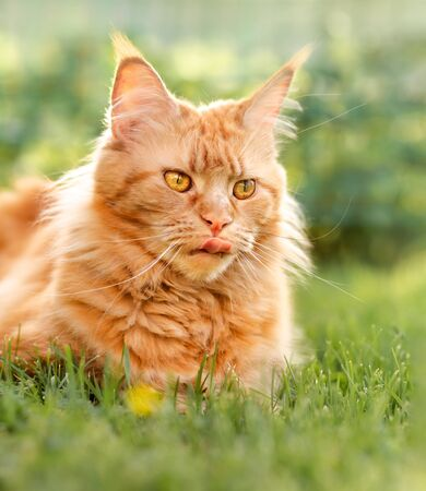 Female red solid maine coon cat lying on green grass and licking. Beautiful brushes on ears. Closeup view portrait Zdjęcie Seryjne