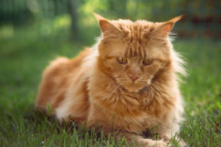 Female red solid maine coon cat lying on green grass. Closeup view portrait. Serious expression face and eyes