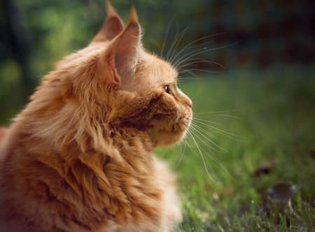 Female red solid maine coon cat lying on green grass and looking up. Beautiful brushes on ears. Closeup view portrait. Serious expression face and eyes