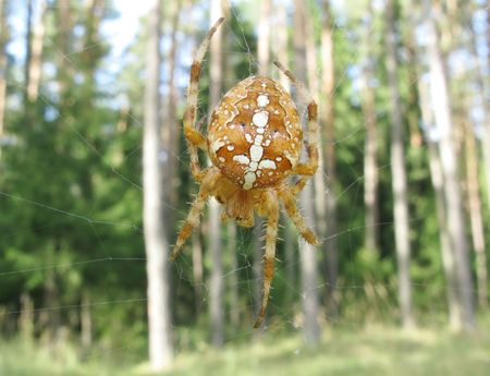yellow spider with long legs in web photo