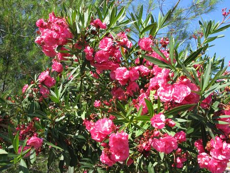 oleander flowers plant as floral background photo