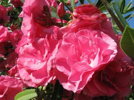 pink oleander flowers as floral background photo