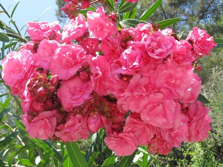 pink oleander plant blossoming flowers photo