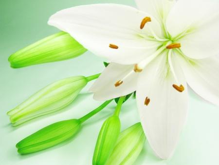 lilia: lirios blancos sobre fondo blanco Foto de archivo