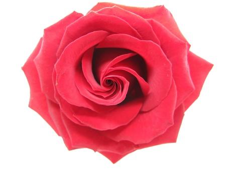 red damask rose isolated on white background Stock Photo - 11331558