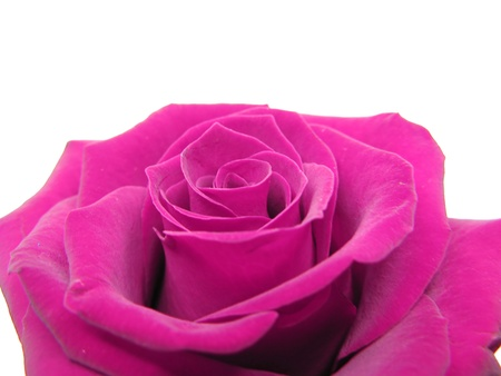 pink rose isolated on white background photo