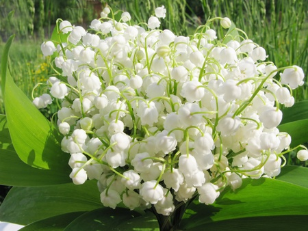 bouquet of lily of the valley field flowers on natural background photo
