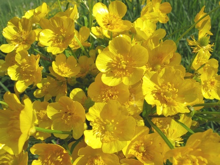 bouquet of yellow buttercups field flowers as floral background Stock Photo - 11495282