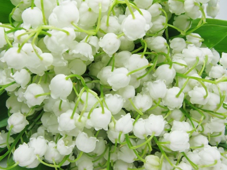 lily of the valley flowers as floral background photo