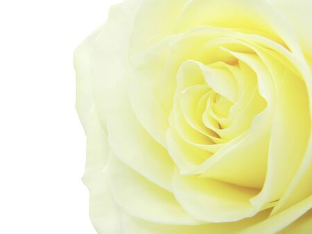 yellow rose isolated on white background photo