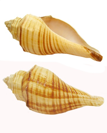 two yellow sea shells hemifusus tuba isolated photo