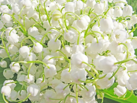 lilia: white lily of the valley floral background