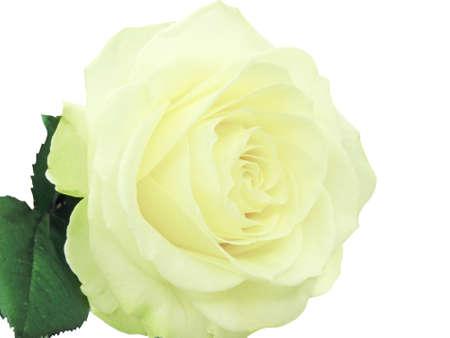 yellow rose isolated on white background photo