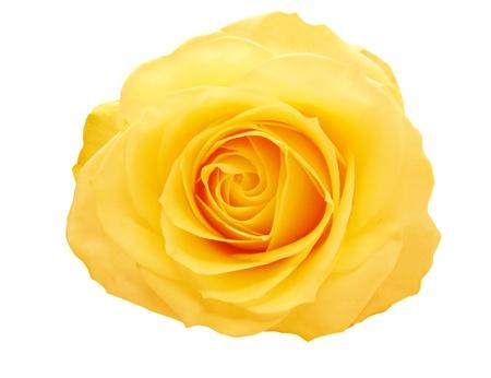 rosas amarillas: amarillo y rosa roja sobre fondo blanco