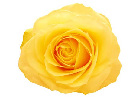 yellow and red rose isolated on white background Stock Photo