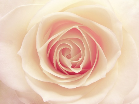 pink and white rose isolated on white background Stock Photo