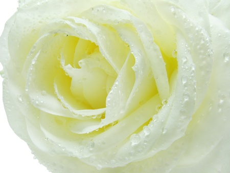 white and yellow rose in water drops isolated on white background photo