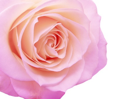 violet and pink rose isolated on white background Stock Photo - 11763018