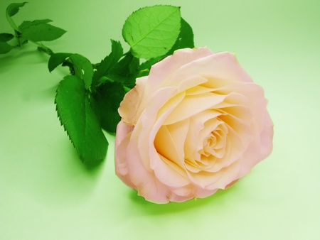 pink and yellow rose flower on green background photo