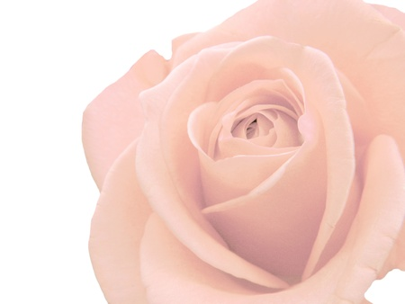 pink rose flower isolated on white background Stock Photo - 11763415