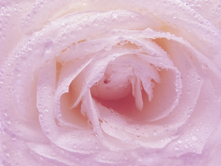 pink rose in dew drops as flora background photo
