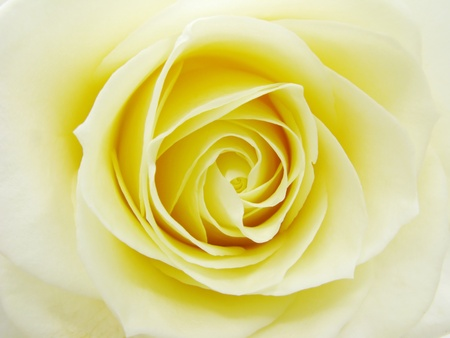 florescence: heart of yellow rose closeup as flora background