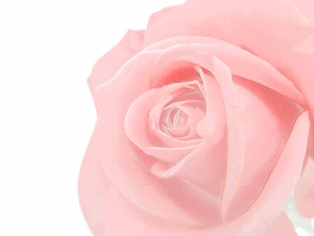 pink rose flower isolated on white background Stock Photo - 12153963