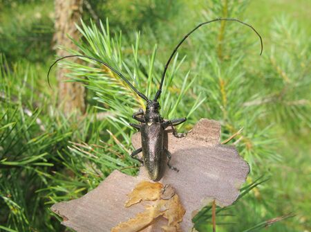 black beetle with long antennas in the forest Stock Photo - 12950570