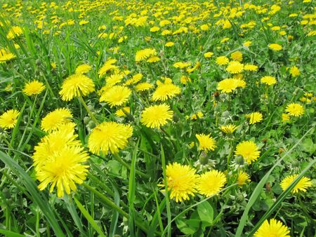 bouquet of yellow dandelion field flowers as floral background photo