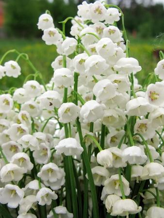 lilia: lirio blanco de las flores de fondo floral bouquet valle